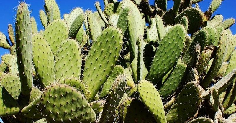Vedkyňa z Mexika vynašla spôsob, ako z kaktusu nopál vyrobiť biologicky rozložiteľný plast