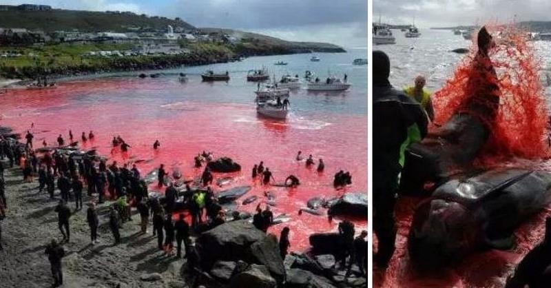 Krv 150 zmasakrovaných veľrýb a delfínov zafarbila more dočervena